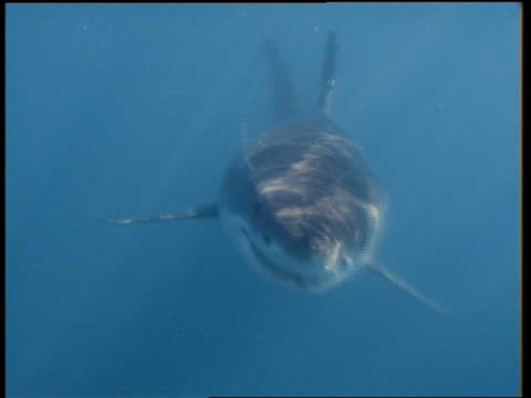 close up great white shark swimming toward cam and biting cam - 歯点の映像素材/bロール