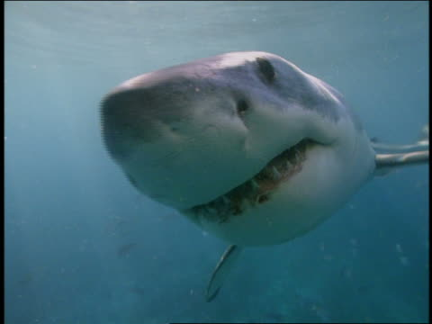 stockvideo's en b-roll-footage met close up great white shark swimming toward cam and trying to bite cam - bijten