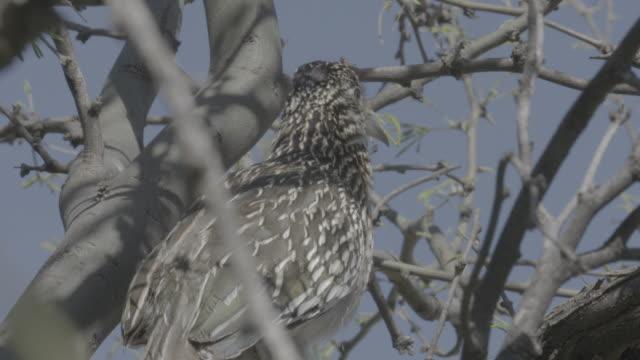 stockvideo's en b-roll-footage met close up greater roadrunner on tree branch - renkoekoek