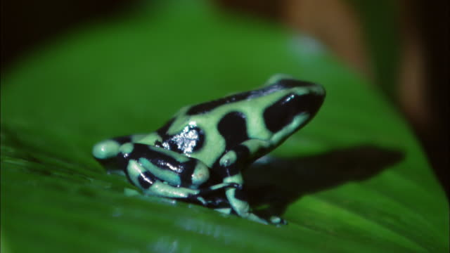 Close up green and black poison dart frog sitting on leaf at the Ranario frog pond / Monteverde, Costa Rica