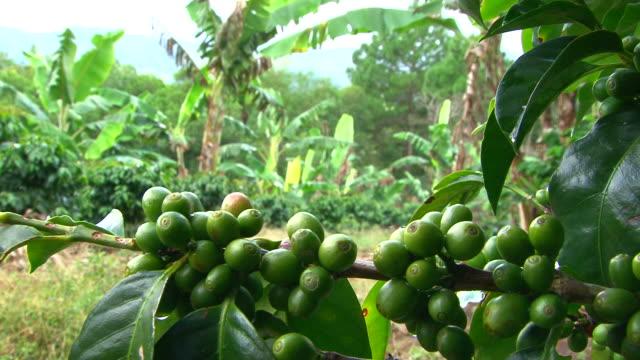 vidéos et rushes de gros plan de café vert fond de l'usine de banane cerise - banane fruit exotique