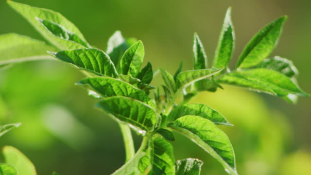 close up green leaves of a potato plant wave in the breeze; early morning sunlight. - fotosintesi video stock e b–roll