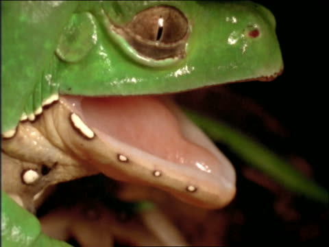 close up green monkey tree frog yawning - mouth open stock videos & royalty-free footage