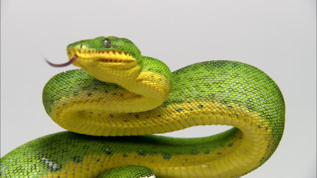 close up green tree python with yellow underbelly flicking tongue and moving along tree branch - ヘビ点の映像素材/bロール