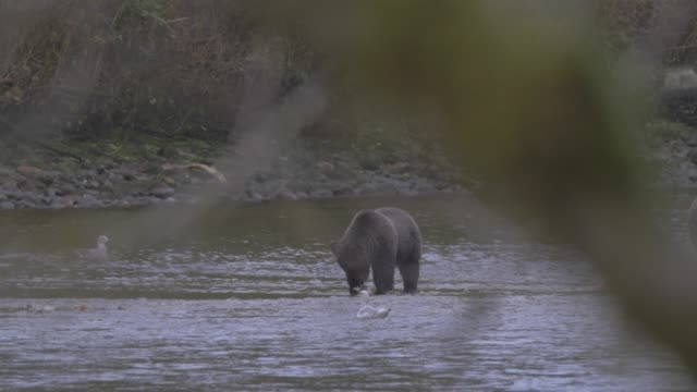 Close Up: Grizzly Bear Eating In Shallow River Water