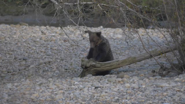 stockvideo's en b-roll-footage met close up: grizzly bear sitting on rocky shore, eating branch - bare tree