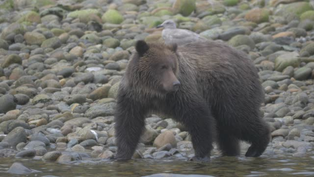 close up: grizzly bear walking from rocky shore into river - クマ点の映像素材/bロール