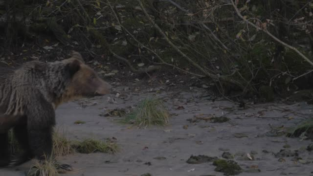 close up: grizzly bear walking on sandy shore - swamp stock videos & royalty-free footage