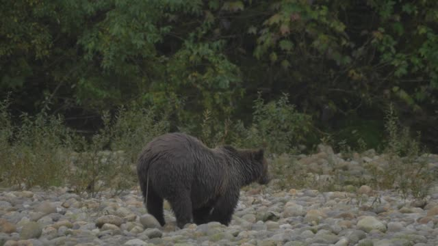 Close Up: Grizzly Bear with Looking Around and Searching In Rocky Plain