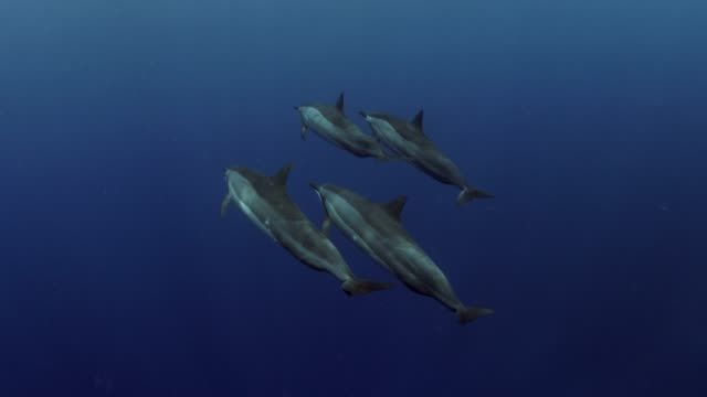close up: group of dolphins floating together to water's surface - whale stock videos & royalty-free footage