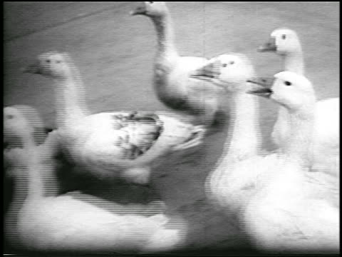 b/w 1956 close up pan group of geese running past camera / hungary / newsreel - medium group of animals stock videos & royalty-free footage
