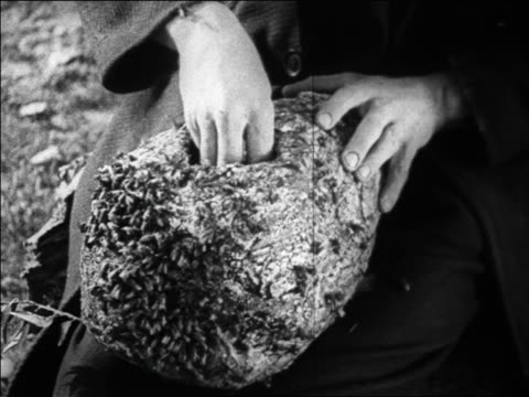 B/W 1925 close up hand of man sticking hand into bee hive swarming with bees / feature