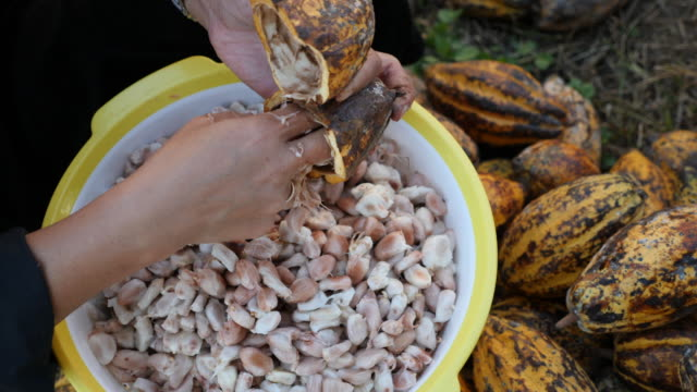 close up hand opening cocoa fruit slow motion - bean stock videos & royalty-free footage