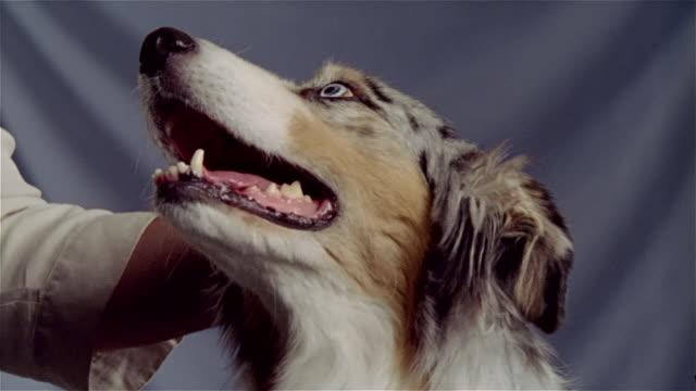 stockvideo's en b-roll-footage met close up hand petting australian shepherd - australische herder