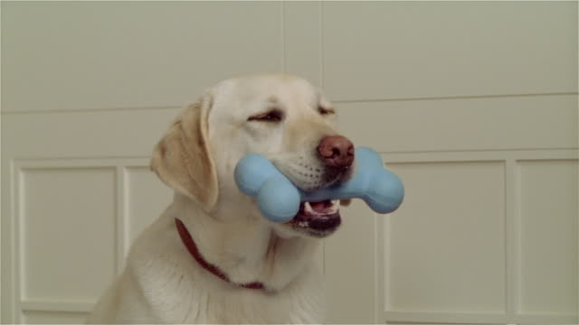 close up hand petting yellow lab with rubber bone in its mouth/ turning to look at camera - bone stock videos & royalty-free footage