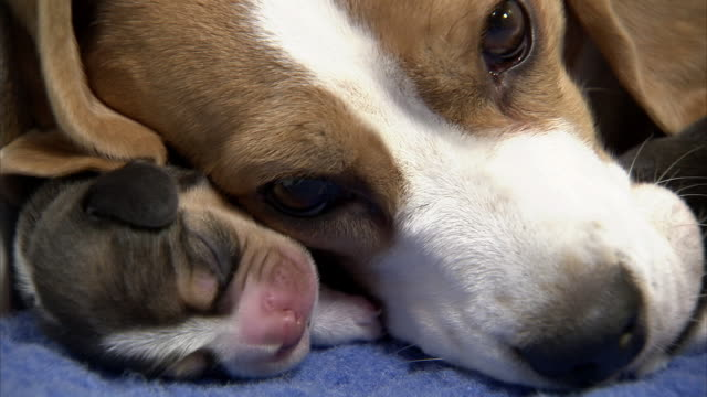 close up hand-held - a beagle snuggles with her new puppy. - beagle stock videos & royalty-free footage