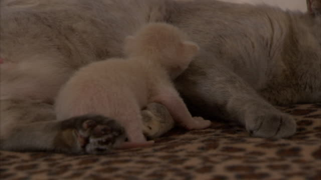 vidéos et rushes de close up hand-held - a burmese cat grooms her kitten. - famille d'animaux