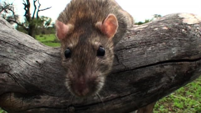close up hand-held - a mouse sits on a log and sniffs around. / johannesburg, south africa - annusare video stock e b–roll