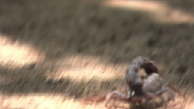 close up hand-held pan-left - a scorpion wanders over sand. / south africa - scorpion stock videos & royalty-free footage