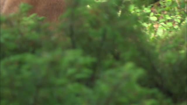vídeos y material grabado en eventos de stock de close up hand-held pan-right - a mountain lion stalks something in the bushes / united states - puma