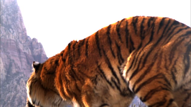 close up, hand-held tilt-up tracking-left - a tiger leaps into the air / usa - tiger stock videos & royalty-free footage