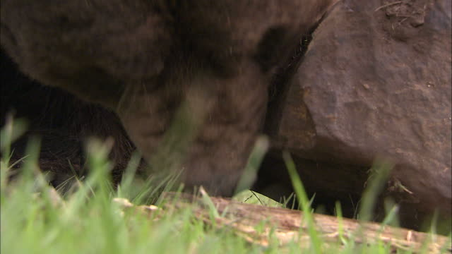 close up hand-held tilt-up tracking-right - a brown bear digs under a rock / bloomington, usa - bear stock videos & royalty-free footage