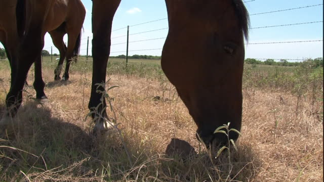 close up hand-held tilt-up - two brown horses graze in a grassy corral. / usa - 動物の色点の映像素材/bロール