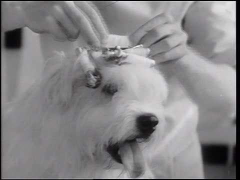 B/W 1933 close up hands of beautician attaching curlers to head of sheep dog / Hollywood, CA