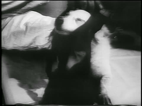 b/w 1957 close up hands putting clothing on dog / laika first space traveler / soviet union / newsreel - 1957 stock videos and b-roll footage