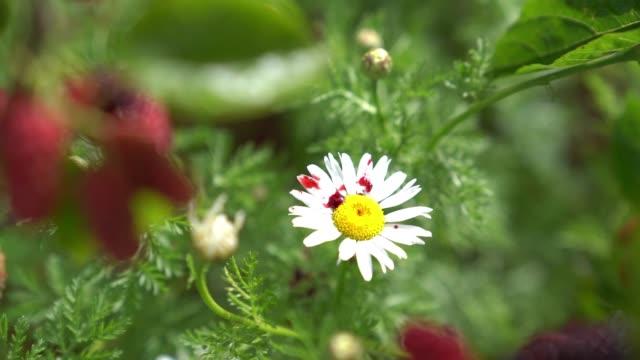 hd-video von daisy flowerby mulberry fruit schließen - selimaksan stock-videos und b-roll-filmmaterial