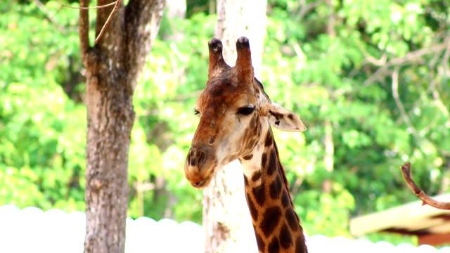 stockvideo's en b-roll-footage met close up head giraffe - lengte