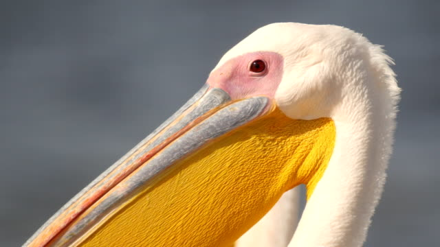 close up head of great white pelicans - pelikan bildbanksvideor och videomaterial från bakom kulisserna