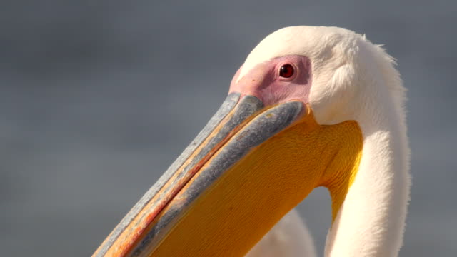 close up head of great white pelicans - pelican stock videos & royalty-free footage