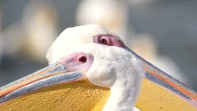 vídeos de stock e filmes b-roll de close up head of great white pelicans - pelicano