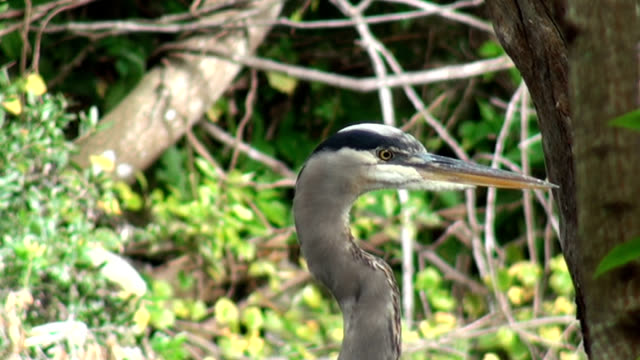 close up head shot, of a great blue heron - great blue heron stock videos and b-roll footage