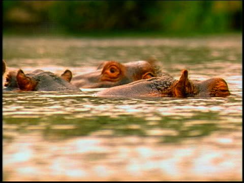 close up heads of 3 hippos bathing / africa - piccolo gruppo di animali video stock e b–roll