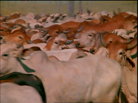 close up herd of cattle running past camera / mato grosso, brazil - rind stock-videos und b-roll-filmmaterial