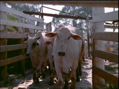 close up herd of white horned cattle walking through chute towards camera / Mato Grosso, Brazil
