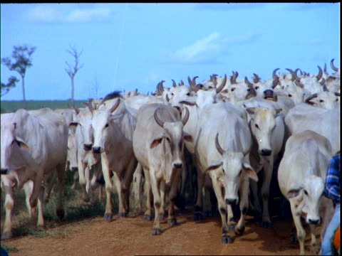 close up herd of white horned cattle walking towards camera / mato grosso, brazil - 動物の一団点の映像素材/bロール