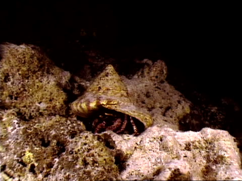 close up hermit crab looking out of shell - animal antenna stock videos & royalty-free footage