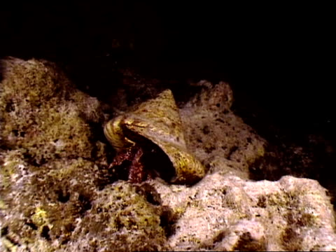 stockvideo's en b-roll-footage met close up hermit crab looking out of shell - voelspriet