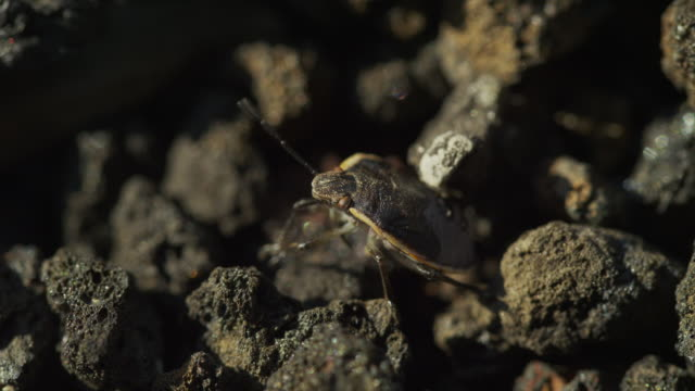 close up high angle shot of camouflaged beetle crawling on volcanic rocks / arco, idaho, united states - animal antenna stock videos & royalty-free footage