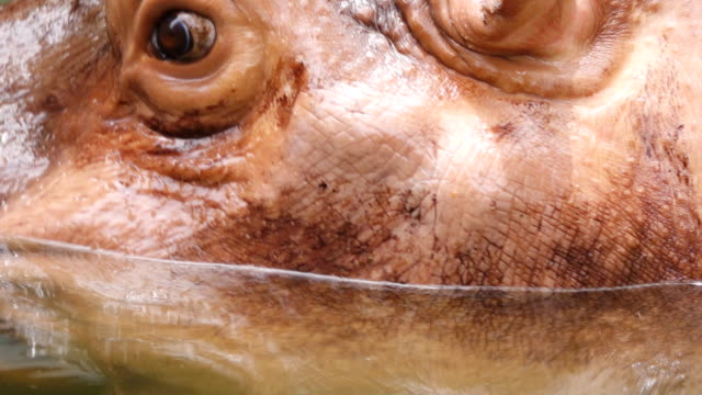 close up hippopotamus - wide stock videos & royalty-free footage