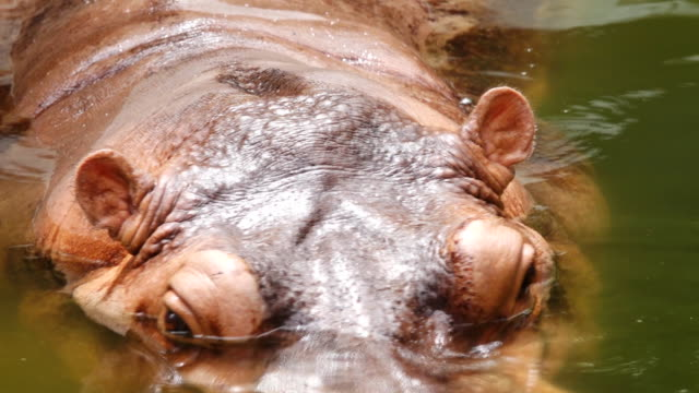 Close up Hippopotamus