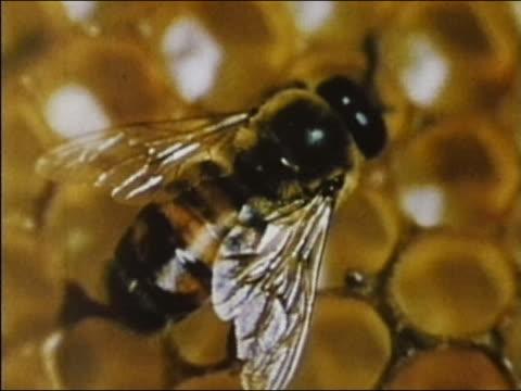 1960 close up honeybee wiggling abdomen on honeycomb in hive