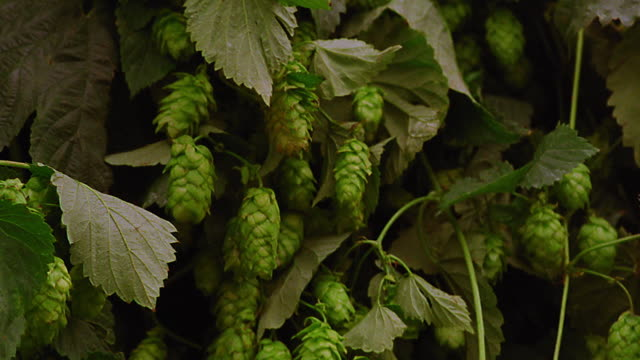close up pan hops / germany - hops crop stock videos and b-roll footage
