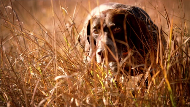 vídeos y material grabado en eventos de stock de close up hunting dog approaches and points toward a pheasant in the field. - perro cazador