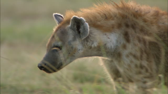 close up hyena walking, drooling and sticking tongue out / masai mara, kenya - mouth open stock videos and b-roll footage