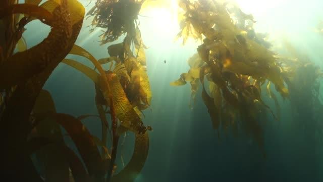 close up: kelp floating underwater illuminating with sun's bright rays - kelp stock videos & royalty-free footage