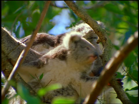 close up koala bear + baby koala sitting in tree looking at around / australia - beuteltier stock-videos und b-roll-filmmaterial